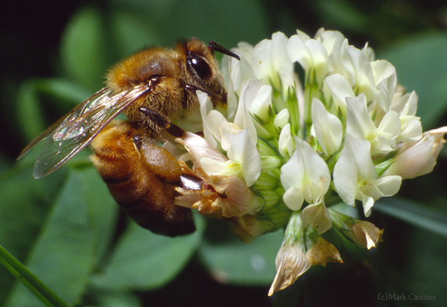 Photograph of Honey Bee on Clover - Apis mellifera