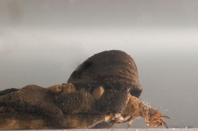Photograph of Caddisfly (aquatic stage - in case) - order Trichoptera