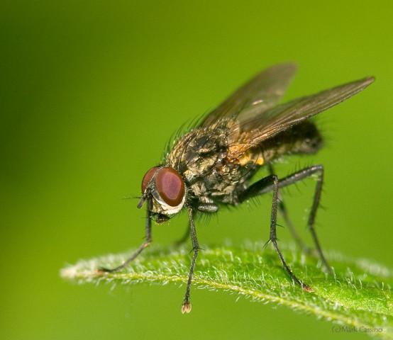 Photograph of Flesh Fly - family Sarcophagidae (?)