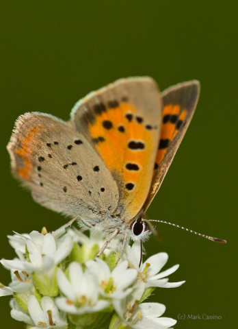 Photograph of American Copper - Lycaena phlaeas
