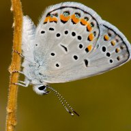 Photograph of Karner Blue Butterfly- Lycaeides melissa samuelis