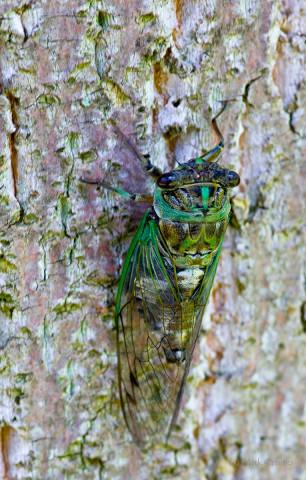 Photograph of Cicada - family Cicadidae