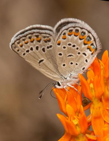 Photograph of Karner Blue - Lycaeides melissa samuelis