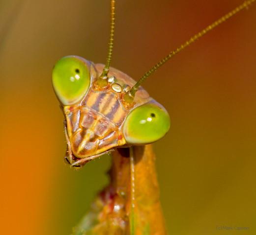Photograph of Chinese Mantis - Tenodera sinensis