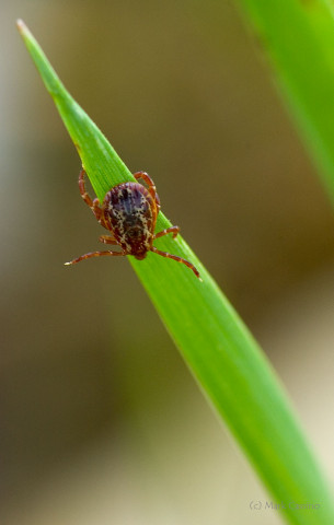 Photograph of Tick on Grass Blade - family Ixodidae (?)