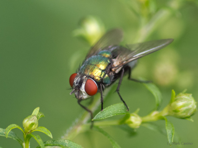 Photograph of Green Bottle Fly - Lucilia sericata