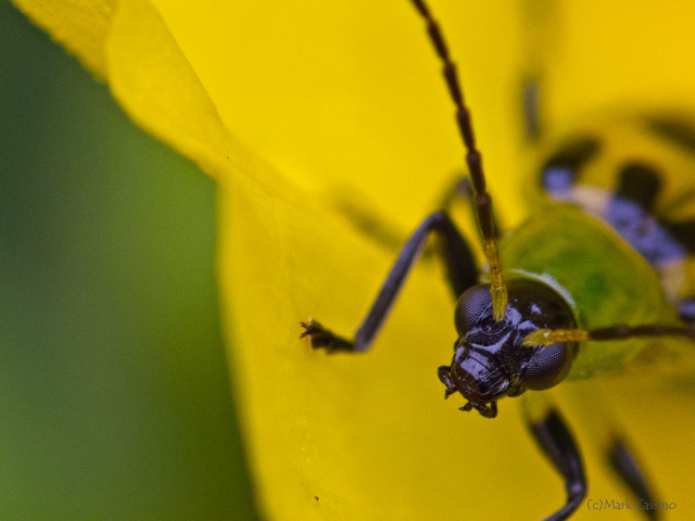 Photograph of Spotted Cucumber Beetle - family Chrysomelidae
