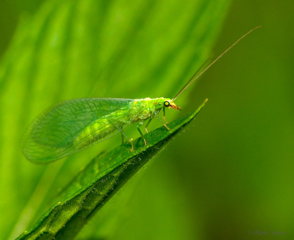 Photograph of Green Lacewing - family Chrysopidae