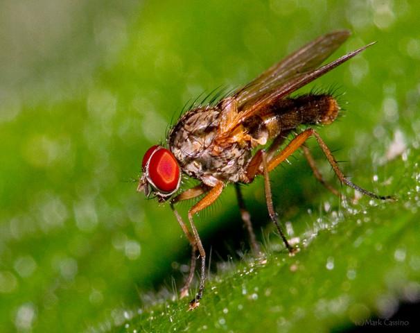 Photograph of a Flesh Fly - family Sarcophagidae (?)