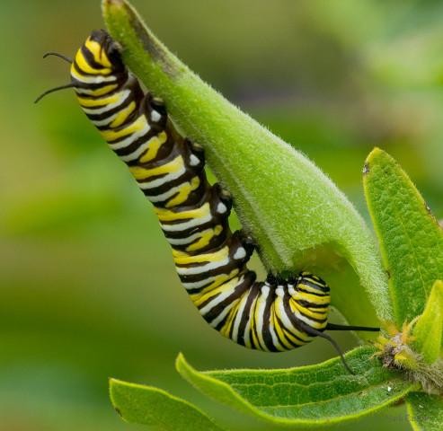 Photograph of Monarch Butterfly Caterpiller on Milkweed - Danaus plexippu