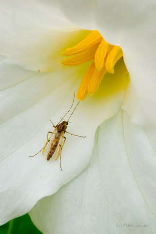 Photograph of Midge on Trillium Flower - family Chironomidae (?)
