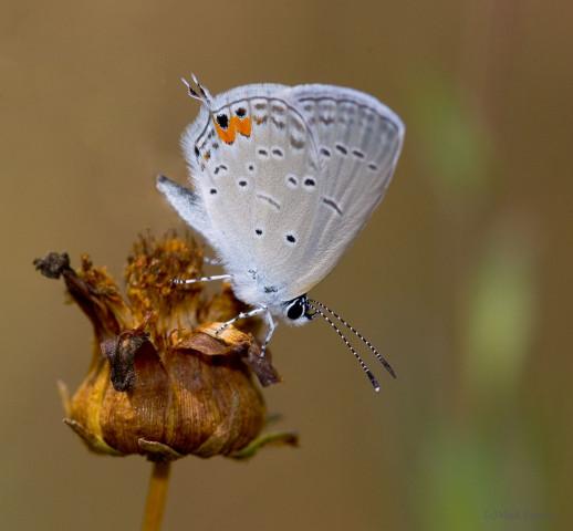 Photo of Eastern Tailed Blue - Cupido comyntas