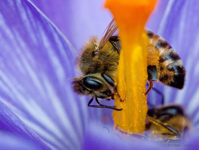 Photograph of Honey Bee - Apis mellifera