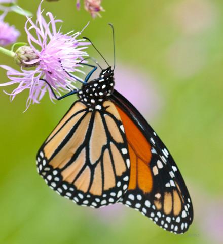 Photograph of Monarch Butterfly - Danaus plexippus