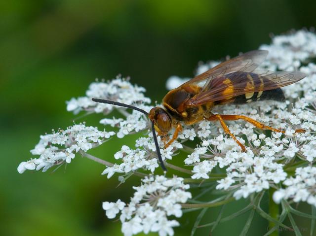 Photograph of Cicada Hunter - family Crabronidae