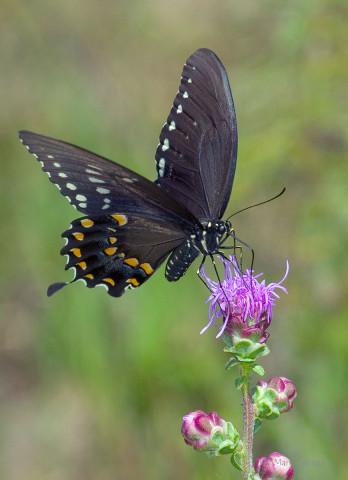 Photograph of Black Swallowtail - Battus philenor