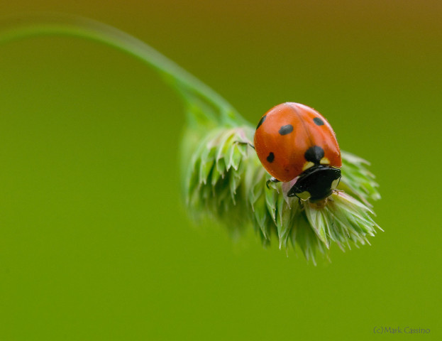 Photograph of a Lady Bug - family Coccinellidae