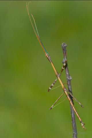 Photograph of Walking Stick - family Diapheromeridae