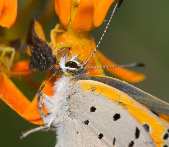 Photograph of Ambush Bug with Prey - family Reduviidae