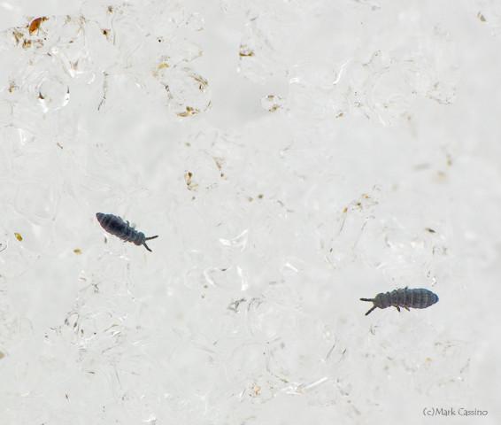 Photograph of Snow Fleas - Hypogastrura nivicola