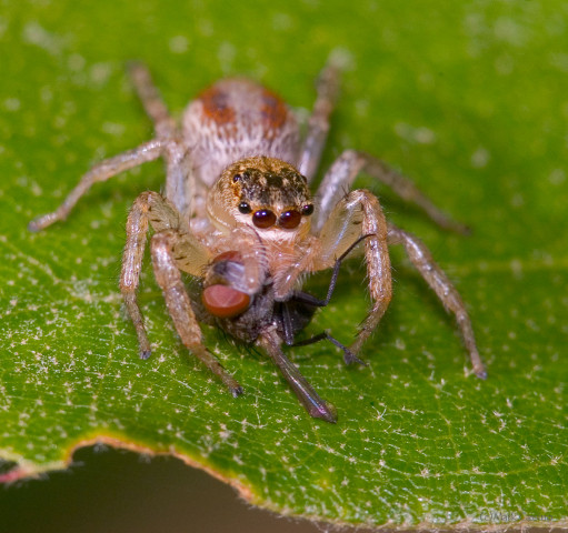 Photograph of Jumping Spider - family Salticidae (?)