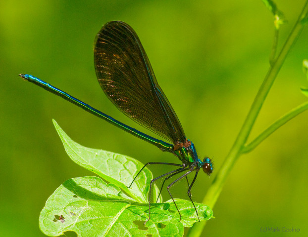 Photograph of Ebony Jewelwing - Calopteryx maculata