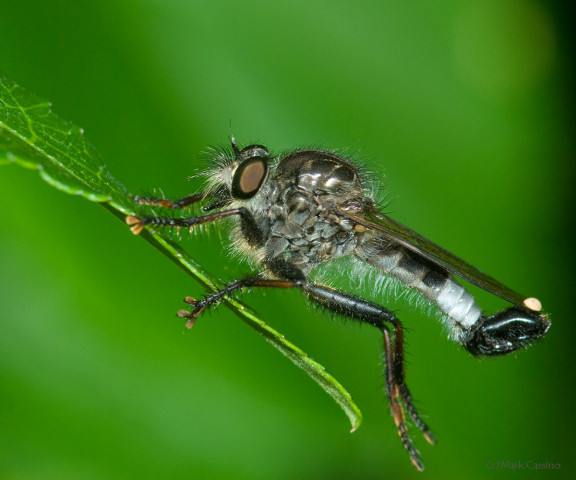 Photograph of a Robberfly - family Asilidae (possibly male  Efferia aestuans)