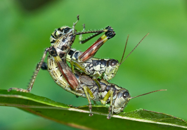 Photograph of Mating Grasshoppers