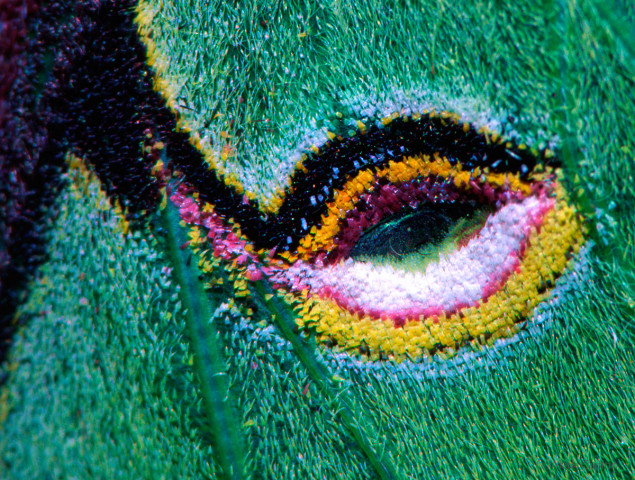 Photograph of Luna Moth Wing Detail - - Actias luna