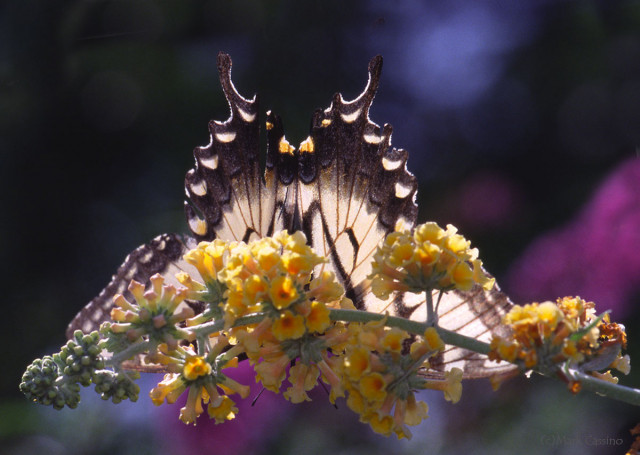 Photograph of Tiger Swallowtail - Papilio Glaucus