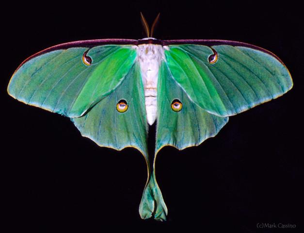 Photograph of Luna Moth - Actias luna