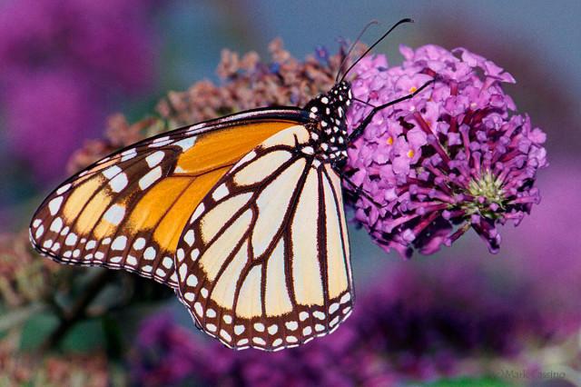 Photographof Monarch Butterfly - Danaus plexippu