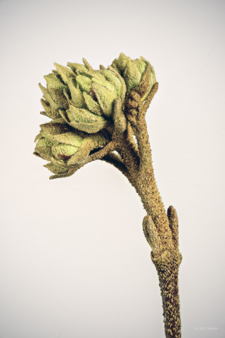 Viburnum