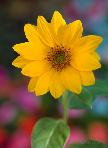 Feral Sunflower