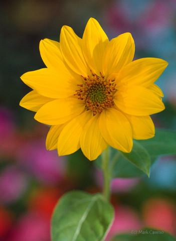 Feral Sunflower