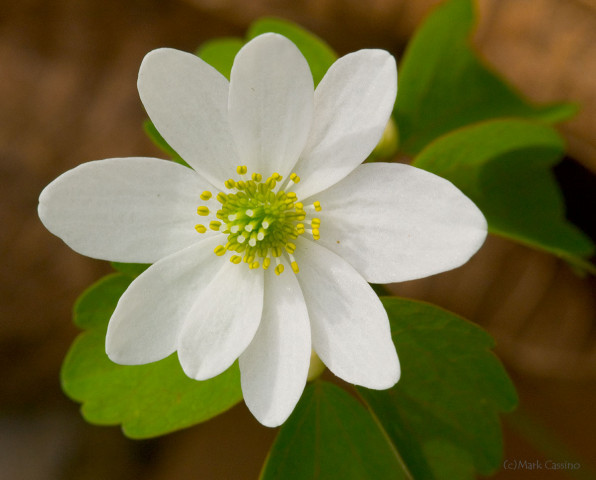 Rue Anemone - Thalictrum thalictroides