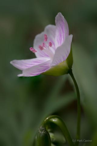 Spring Beauty - Claytonia virginica
