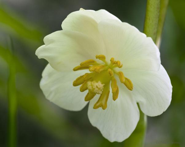 May Apple flower - Podophyllum