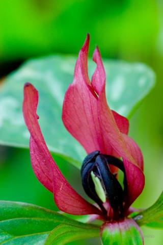 Prairie Trillium - Trillium recurvatum (?)