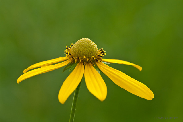 Tall Coneflower -(Rudbeckia laciniata