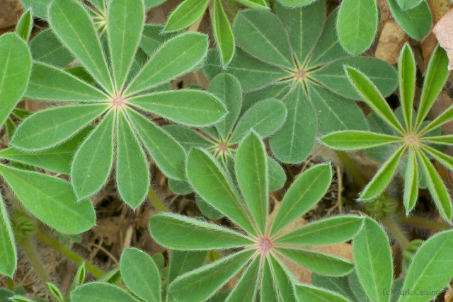 Wild Lupine Foliage