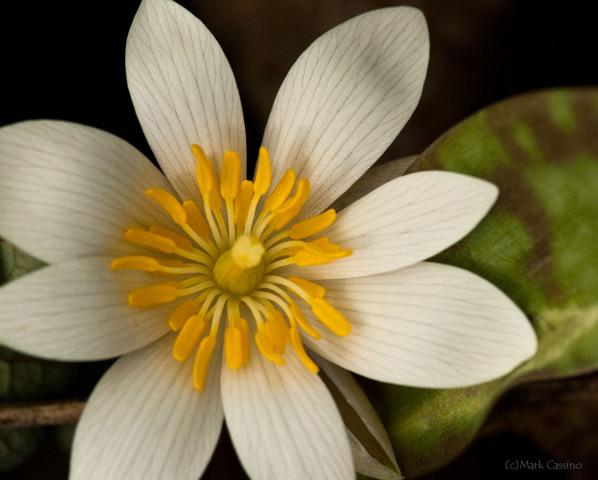 Bloodroot - Sanguinaria canadensis