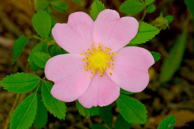 Wild Prairie Rose - Rosa arkansana