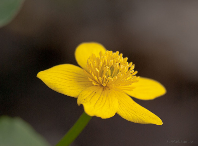 March Marigold - Caltha palustris