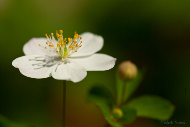 False Rue Anemone - Enemion biternatum