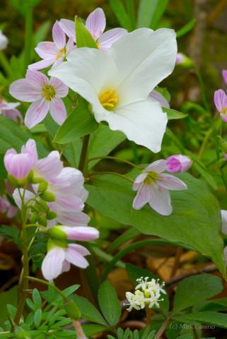 Wildflower Bouquet - Trillium, Spring Beauty & Dwarf Ginseng
